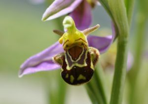 Orchis abeille, Coulaines