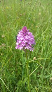 Orchis pyramidal, Coulaines